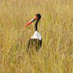 """Saddle-billed Stork"" by maxfear"