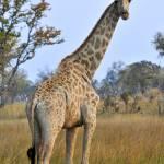 """""""Giraffa"""" by maxfear"""