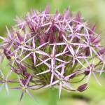 """Allium Christophii (Star of Persia)"" by TonyDoddPhotography"
