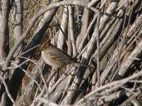 Little White-crowned Sparrow