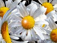 A White Daisy Collage