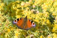 Peacock on Ragwort