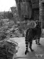 Black and White Tiger Surveying his domain
