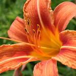 """tiger lily"" by erinlanzendorfer"