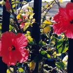"""Orlando Hibiscus Flowers 2"" by amberbrockoppphoto"