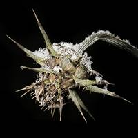 Snow on a Thistle