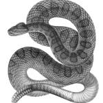 """Prairie Rattlesnake (1853)"" by CoachwhipBooks"