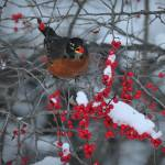 """Robin in the Winterberry"" by McallenPhotography"