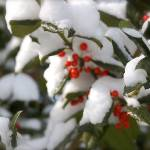 """""""Snow Covered Berries"""" by jamm2323"""