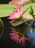 Water Lily and Dragonfly Reflections