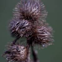 Spikey Buds Art Prints & Posters by David Papworth
