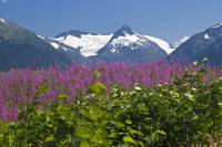 Summer Flowers - Snowcapped Mountains