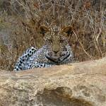 """Leopard Tsavo East 3"" by malx"