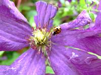 Clematis with Ladybird