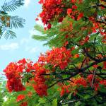 """Hawaiian Royal Poinciana Flowering Tree"" by LorrieMorrison"