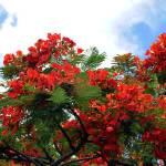 """""""Flamboyant Red Flowering Tree"""" by LorrieMorrison"""