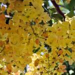 """""""Hawaiian Gold Shower Tree"""" by LorrieMorrison"""