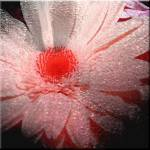 """Gerbera Love"" by Sari_McNamee"