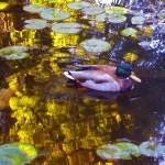 """Malard Duck on Pond 2"" by AmyVangsgard"