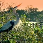 """Great Blue Heron Calling -103,681"" by larapreaccophotography"