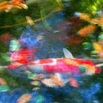 """Abstract Koi 1"" by AmyVangsgard"