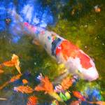 """Abstract Koi 2"" by AmyVangsgard"