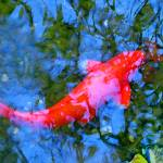 """Abstract Koi 4"" by AmyVangsgard"