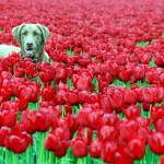 """dogintulips_copyrightphoto_ChristopherBoswell"" by christopherboswell"