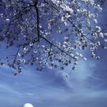 """jefferson_memorial_blossoms_0003"" by christopherboswell"