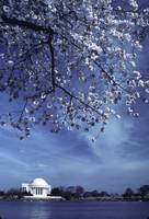 jefferson_memorial_blossoms_0003