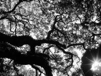 Under the Angel Oak in BW