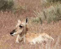 Camouflaged Pronghorn