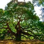 """""""Angel Oak Tree  in Danger"""" by louisdallara"""