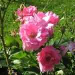 """pink flower"" by 4thstreetprod"