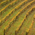 """Vineyard in the Fall"" by flowphotography"