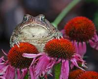 Toad on Coneflowers