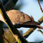 """""""Collared Dove"""" by kenart"""