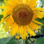 """Sun Flower"" by BGTPhotography"