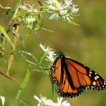 """Monarch Butterfly"" by BGTPhotography"