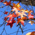 """Autumn Leaves against a Turquoise Sky"" by Corbett"