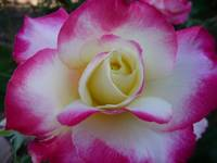 Creamy Rose Edged with Deep Pink