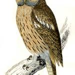 """Tawny_Owl"" by calliope"
