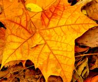 fall leaf (close up)