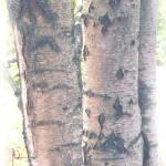 """Birch Tree Closeup"" by ExpressionsOfLight"