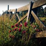 """Fence and Wild Roses"" by gdavidchafin"