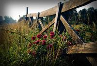 Fence and Wild Roses