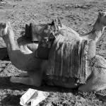 """""""Camel-005"""" by AnneHarai"""