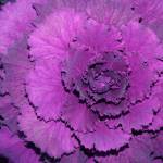 """Looks like Purple Cabbage"" by DonnaCorless"