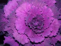 Looks like Purple Cabbage