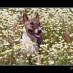 """Miniature Bull Terrier - Parastone"